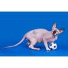 Канадский сфинкс - лучшая кошка